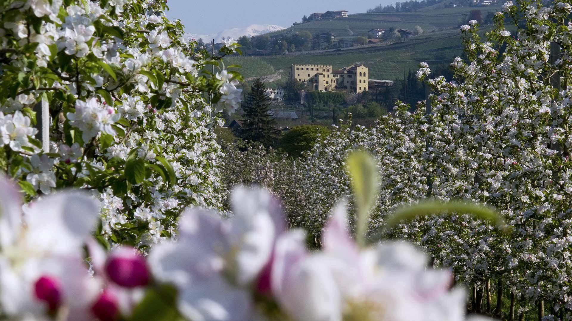 Passeggiate tra i meleti in fiore