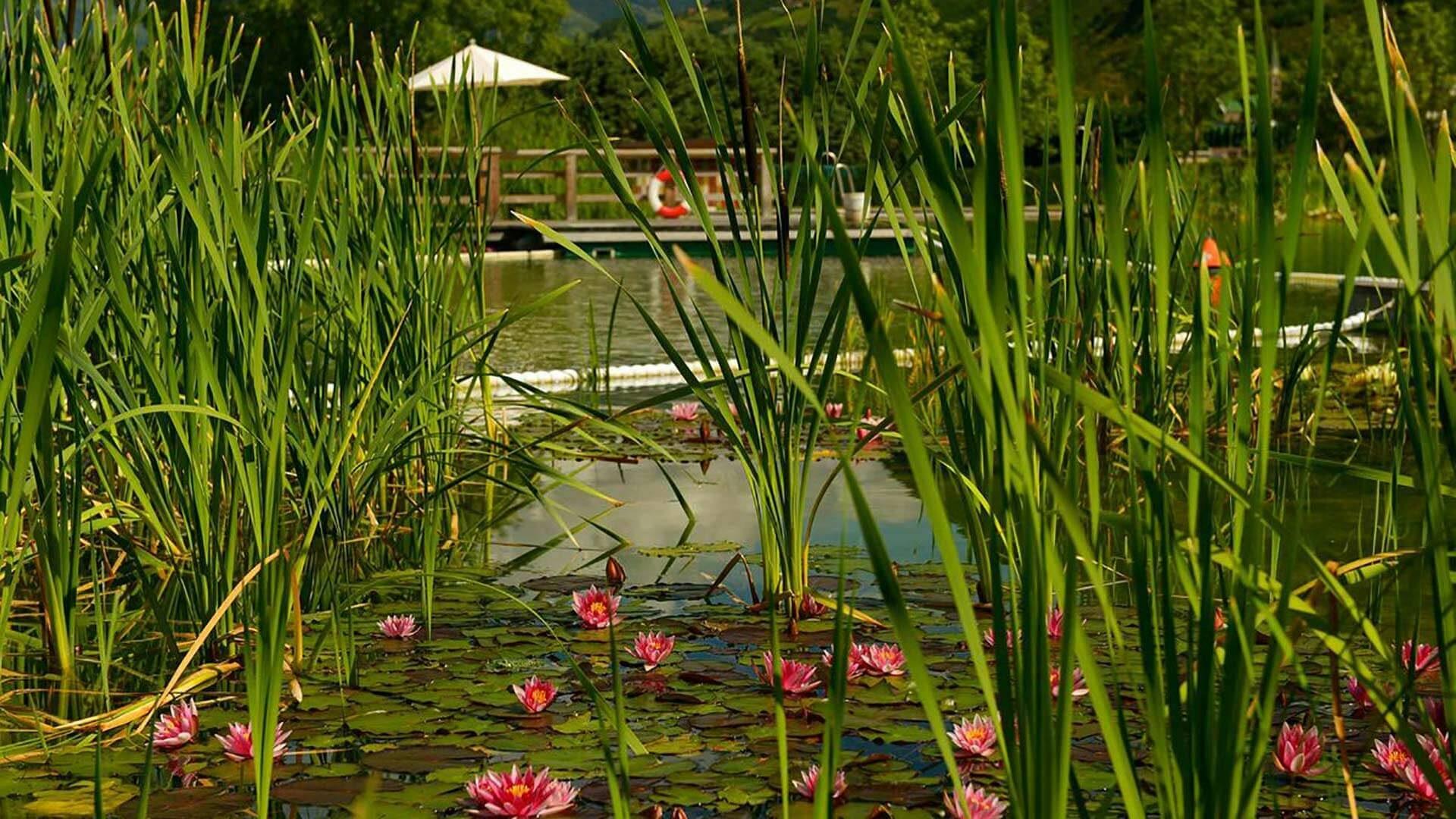 Le ninfee nella piscina naturale