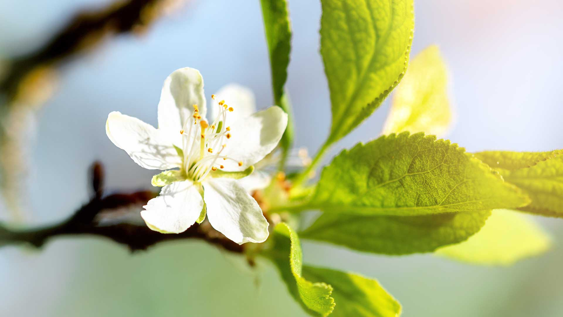 Gargazzone - Fiori di melo