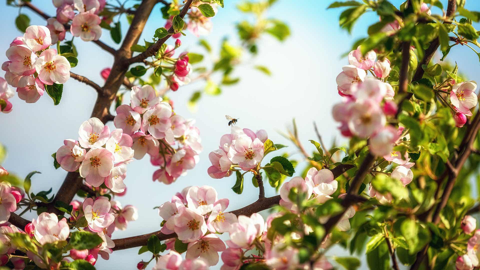 Cermes - primavera