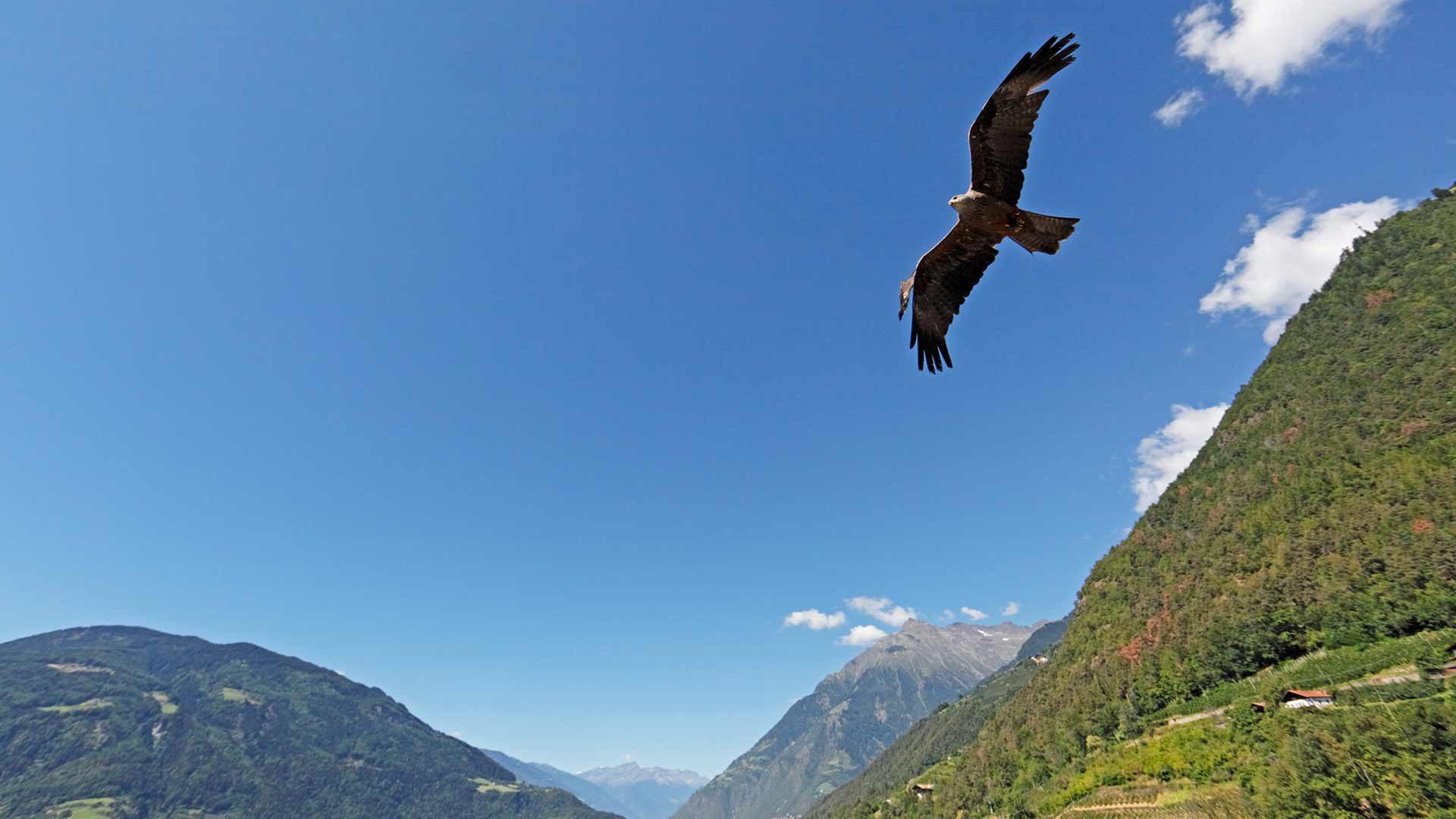 Dimostrazione di volo degli uccelli rapaci