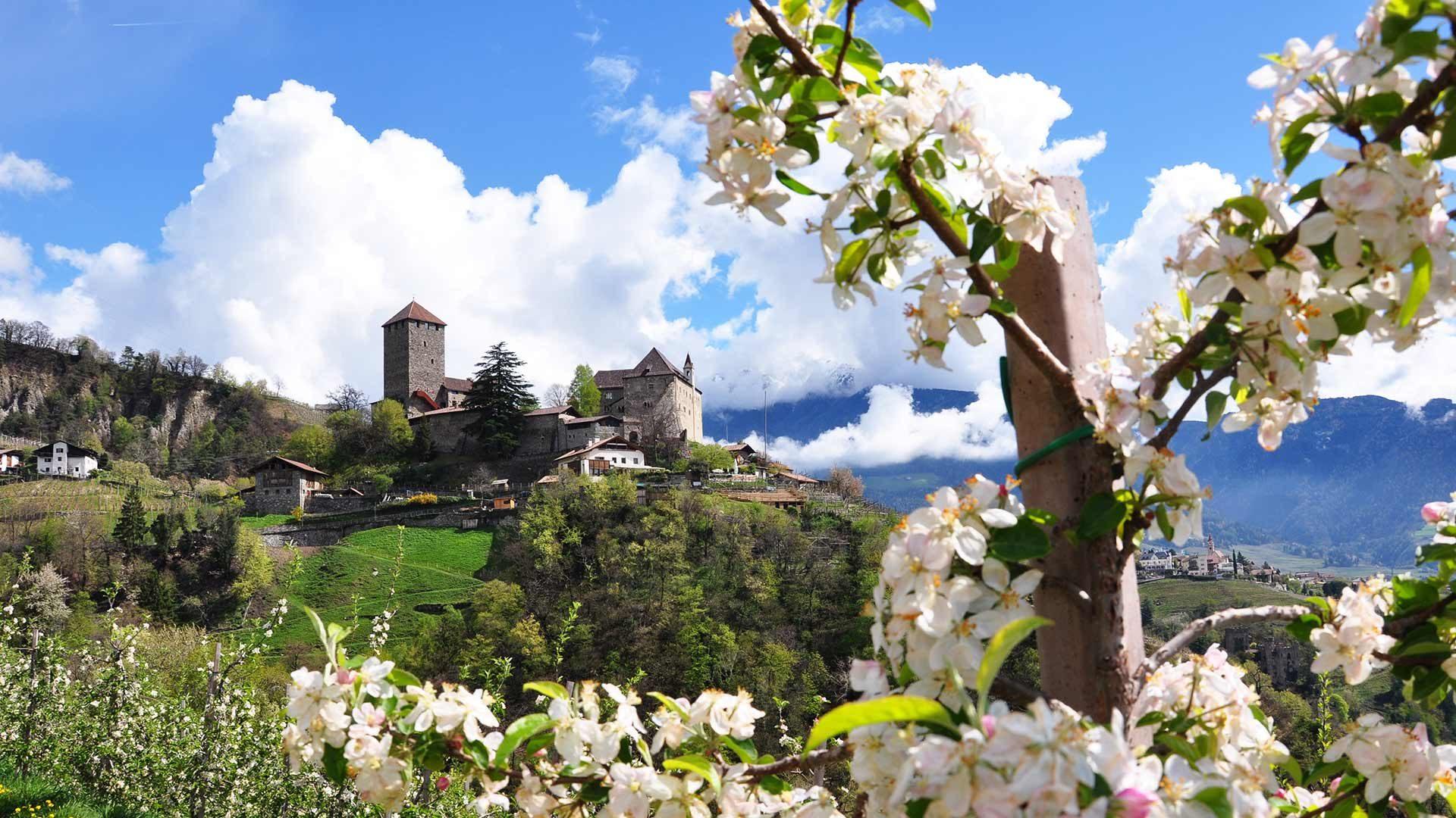Castel Tirolo - Fiori di melo