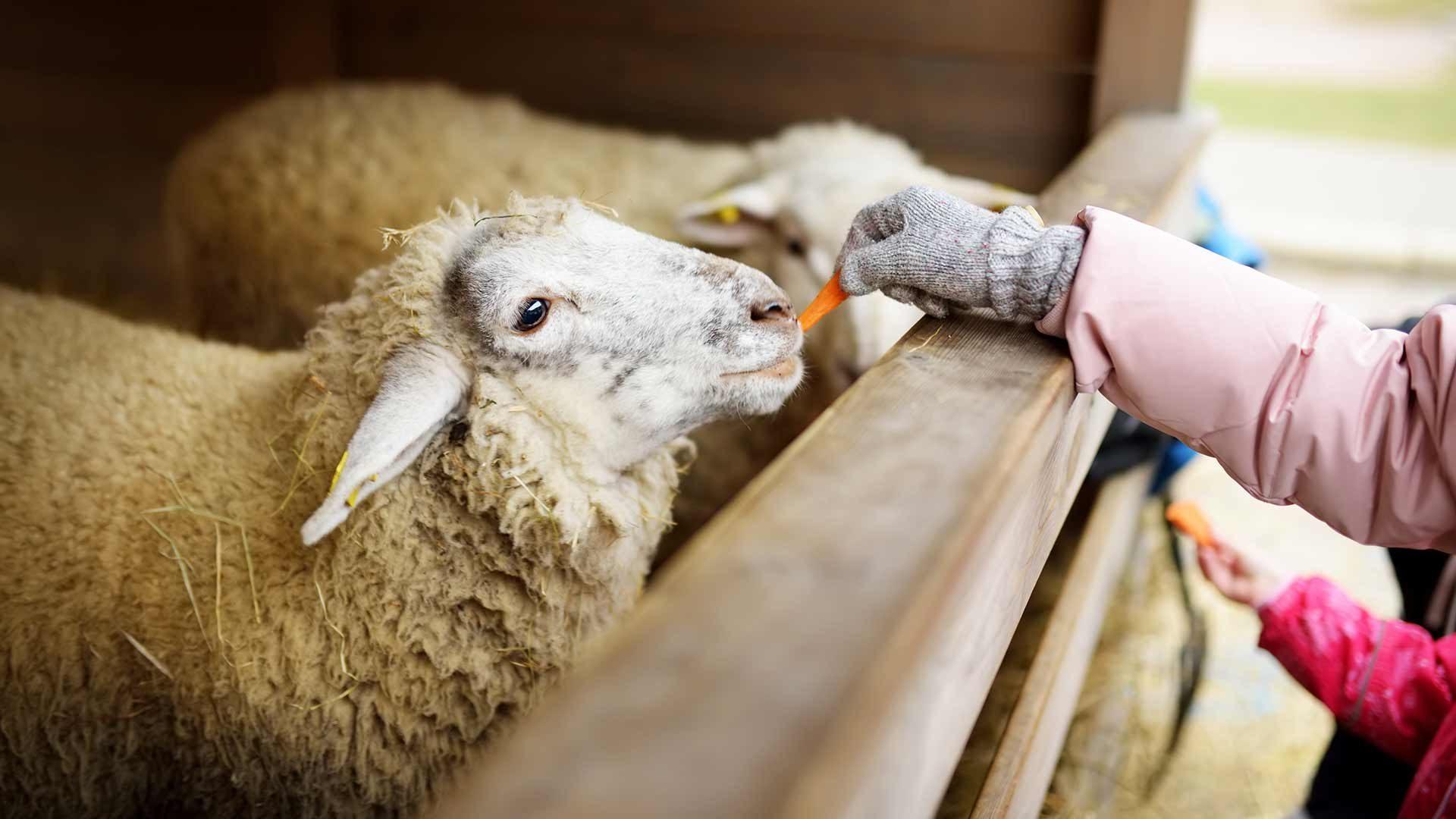 Fattoria Rainguthof - pecore