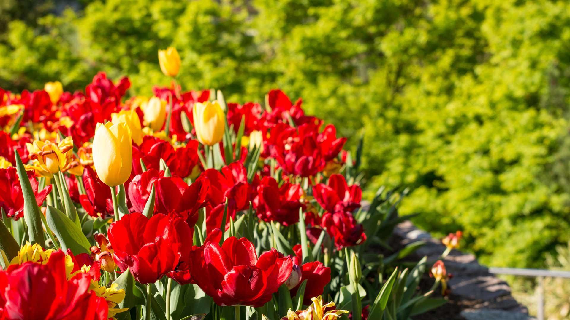 I Giardini di Castel Trauttmansdorff - Tulipani