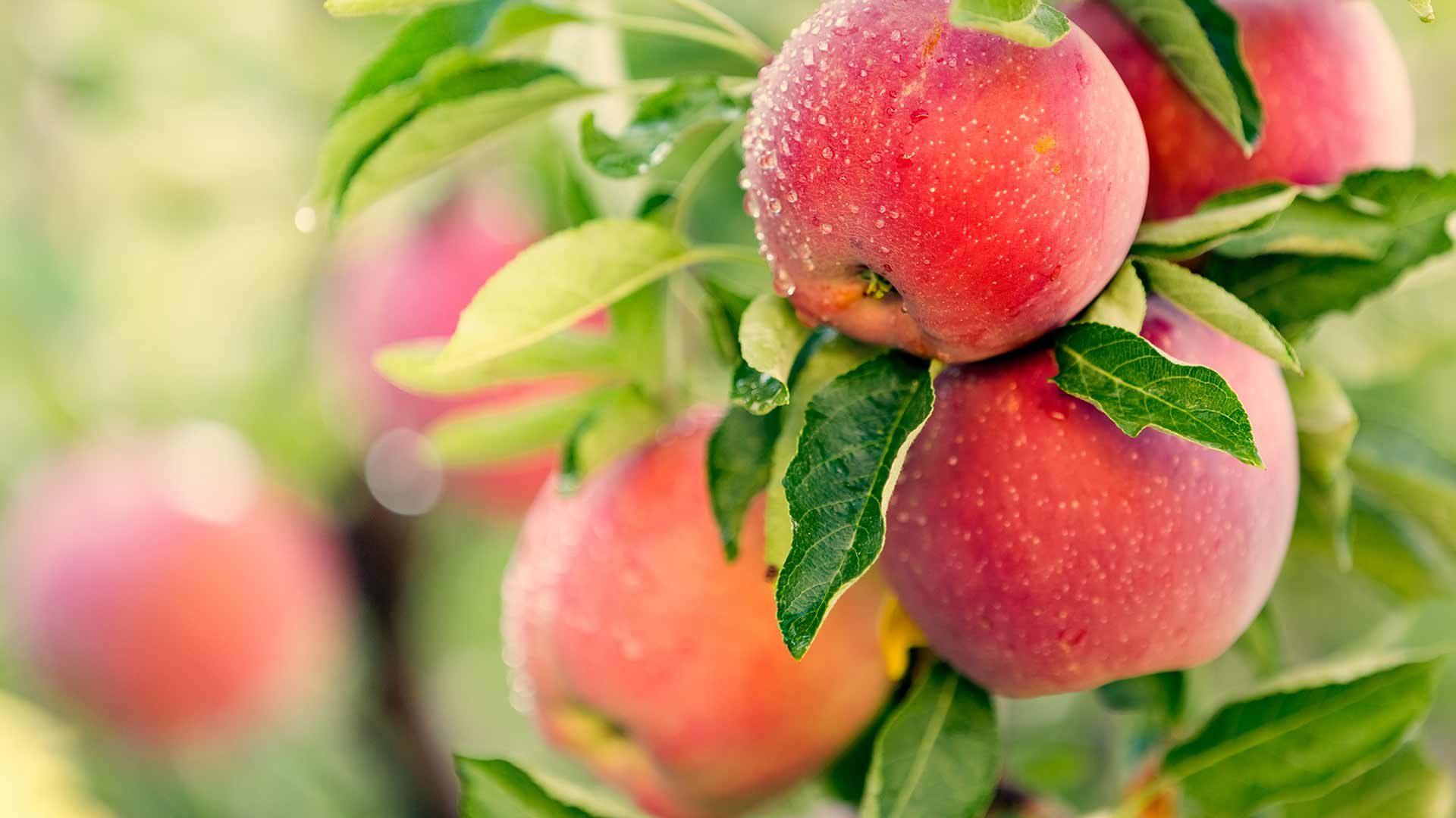 Le mele: escursione guidata con degustazione