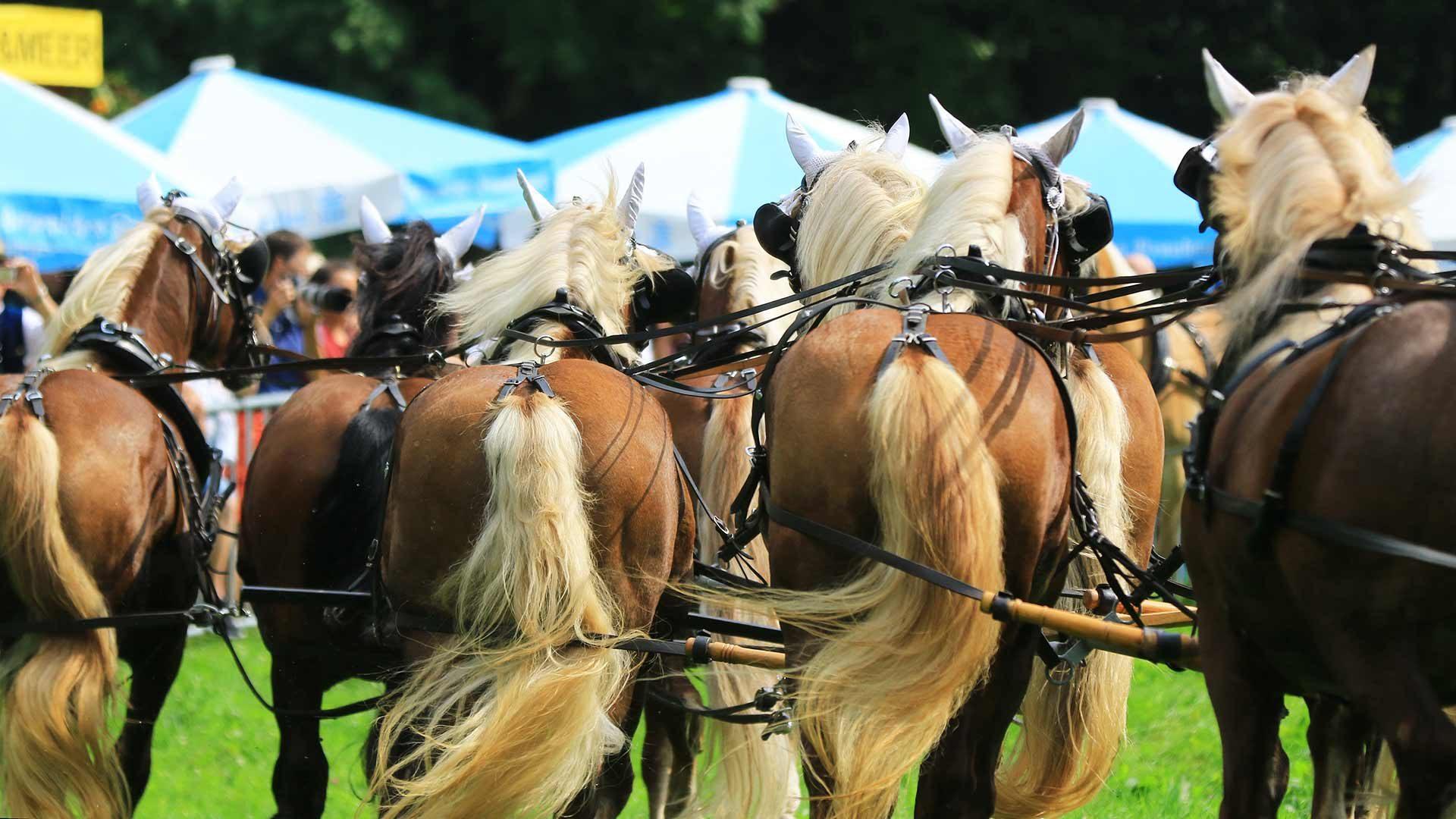 Corse tradizionali dei cavalli a Merano