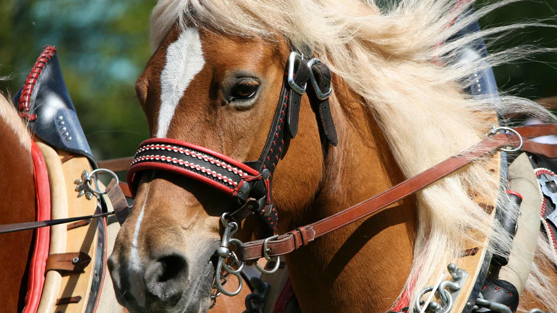 Corse tradizionali dei cavalli Haflinger a Merano
