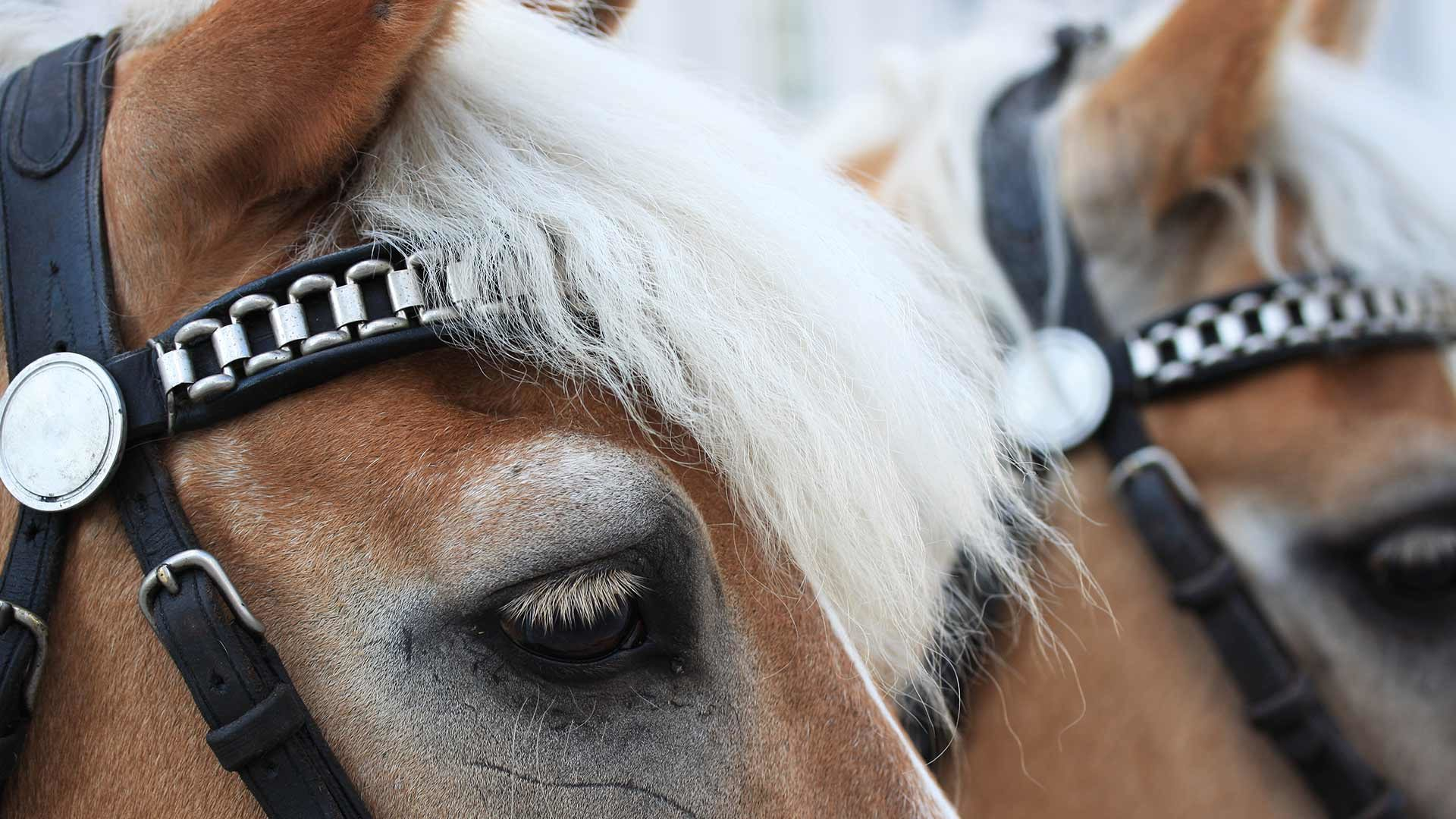 Corse tradizionali dei cavalli Haflinger