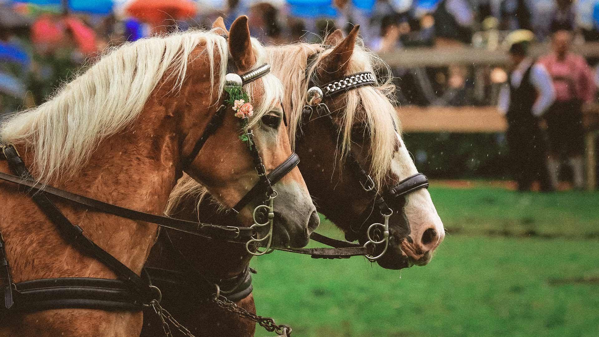 Corse tradizionali dei cavalli Haflinger in Alto Adige