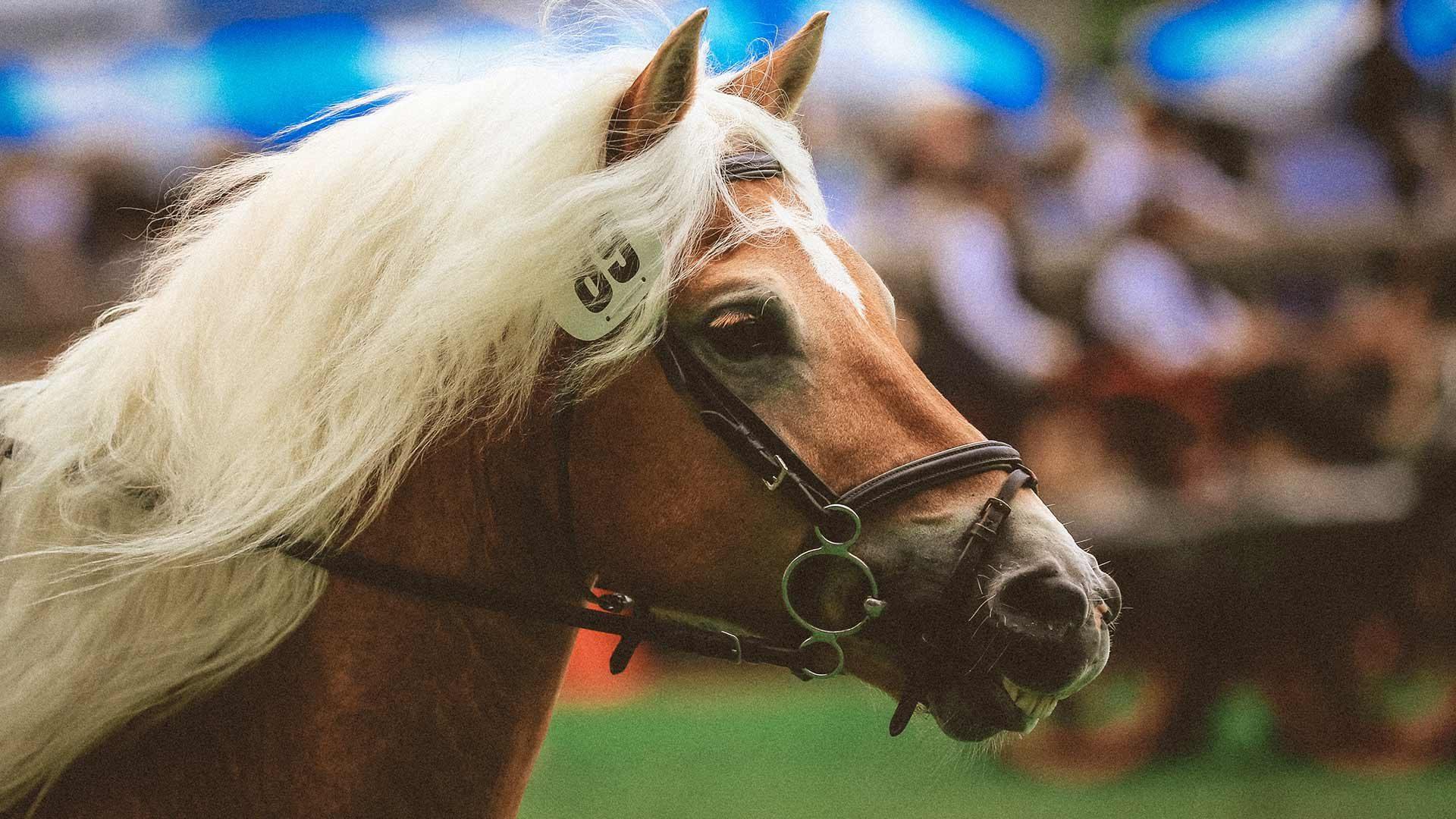 Tradizionale corsa dei cavalli Haflinger