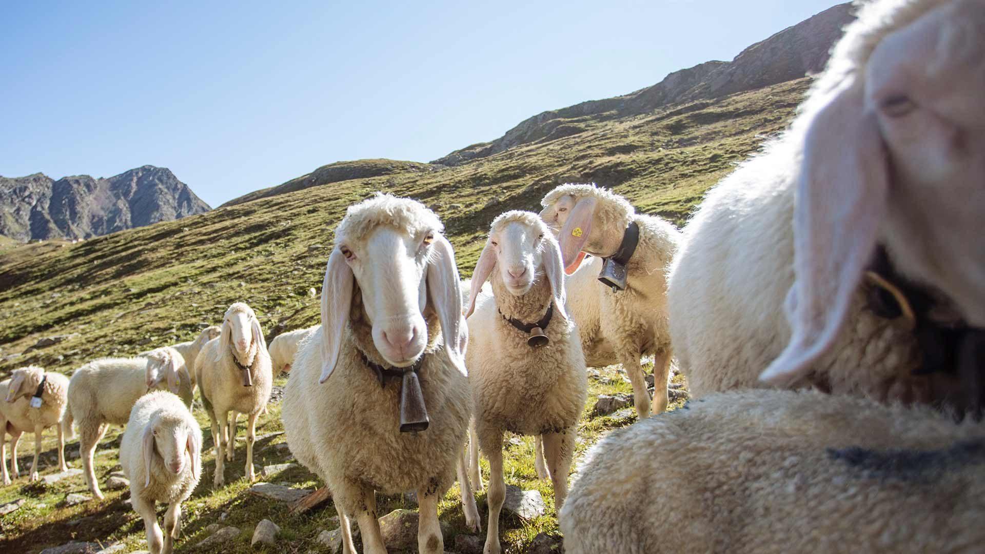 Transumanza delle pecore – il ritorno - Val Senales
