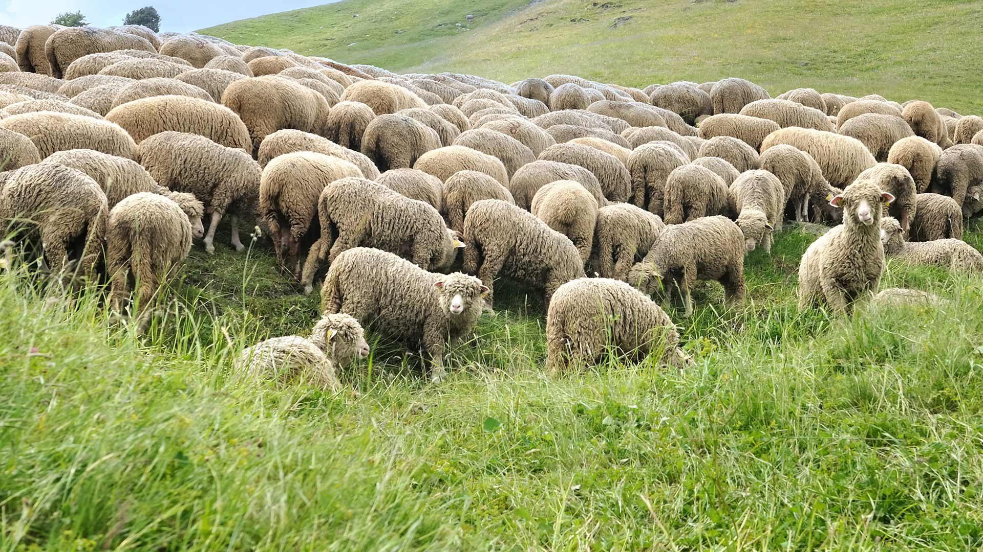 Transumanza delle pecore dalla Val di Tel